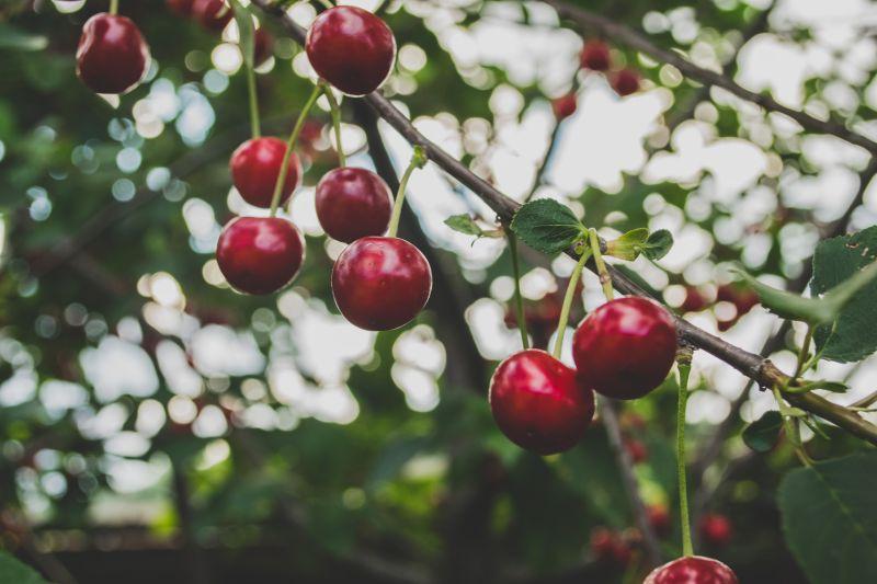 Sadonkorjuu, kirsikat